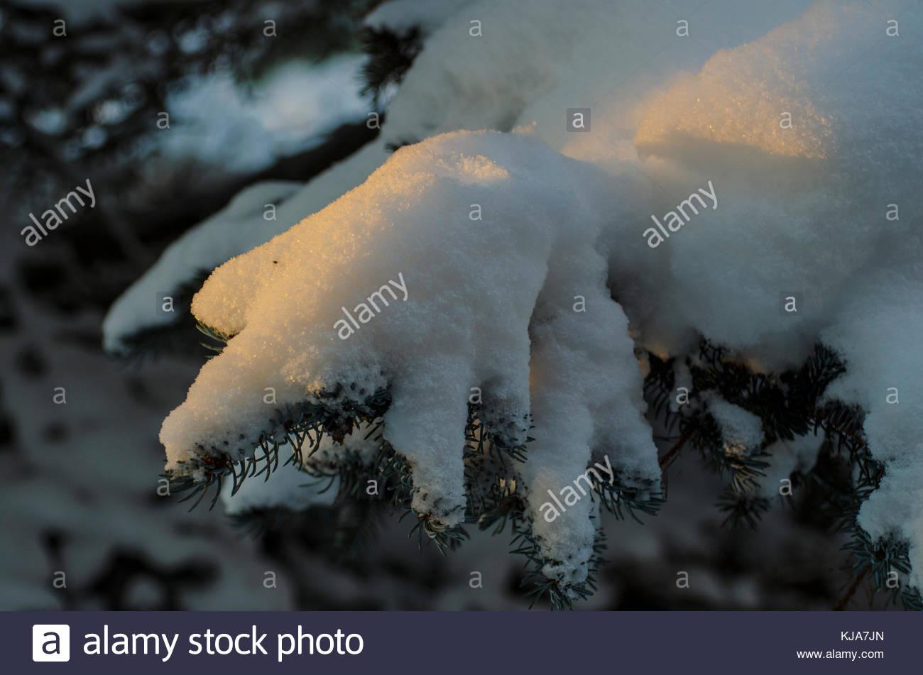 Last rays of sun on the crisp snow on the fir branch. - Stock Image