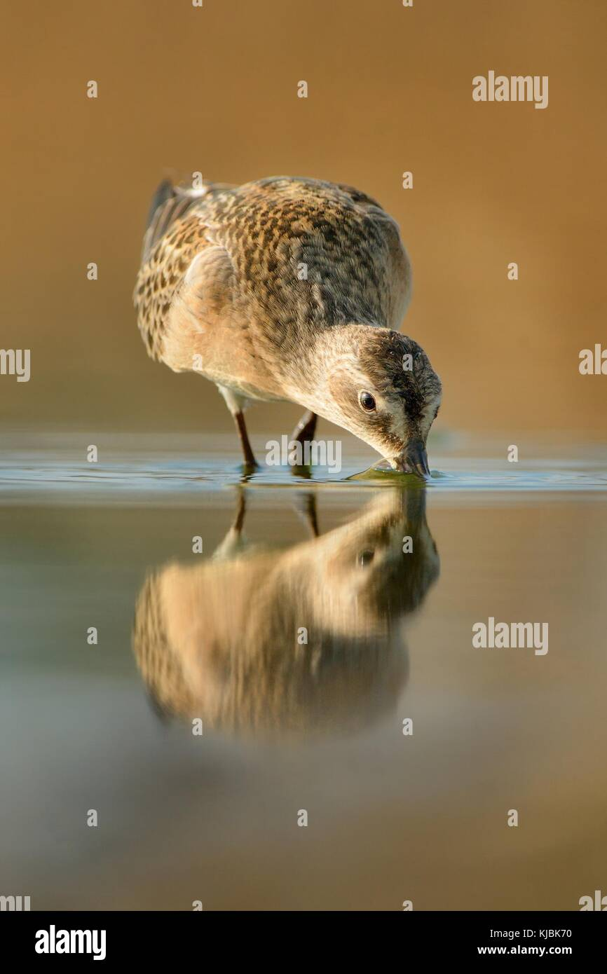Curlew Sandpiper - Calidris ferruginea standing in the water and feeding - Stock Image