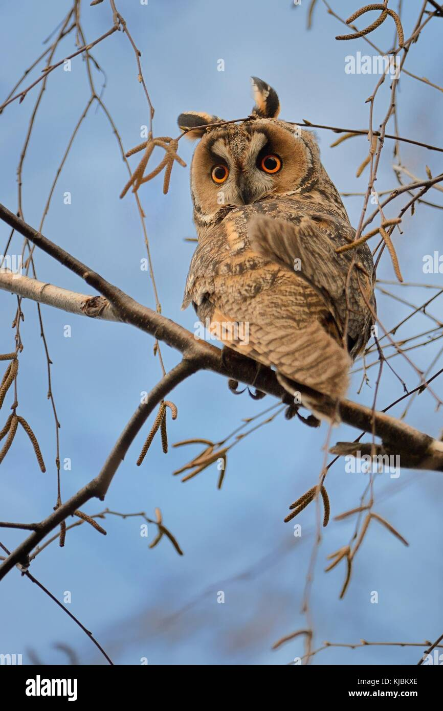 Long-eared Owl - Asio otus sitting on the branch - Stock Image
