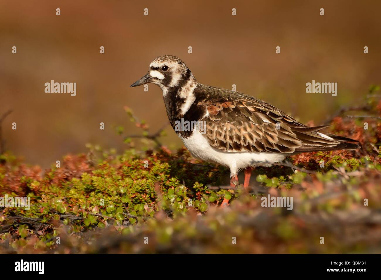 Ruddy Turnstone in tundra in the evening. - Stock Image