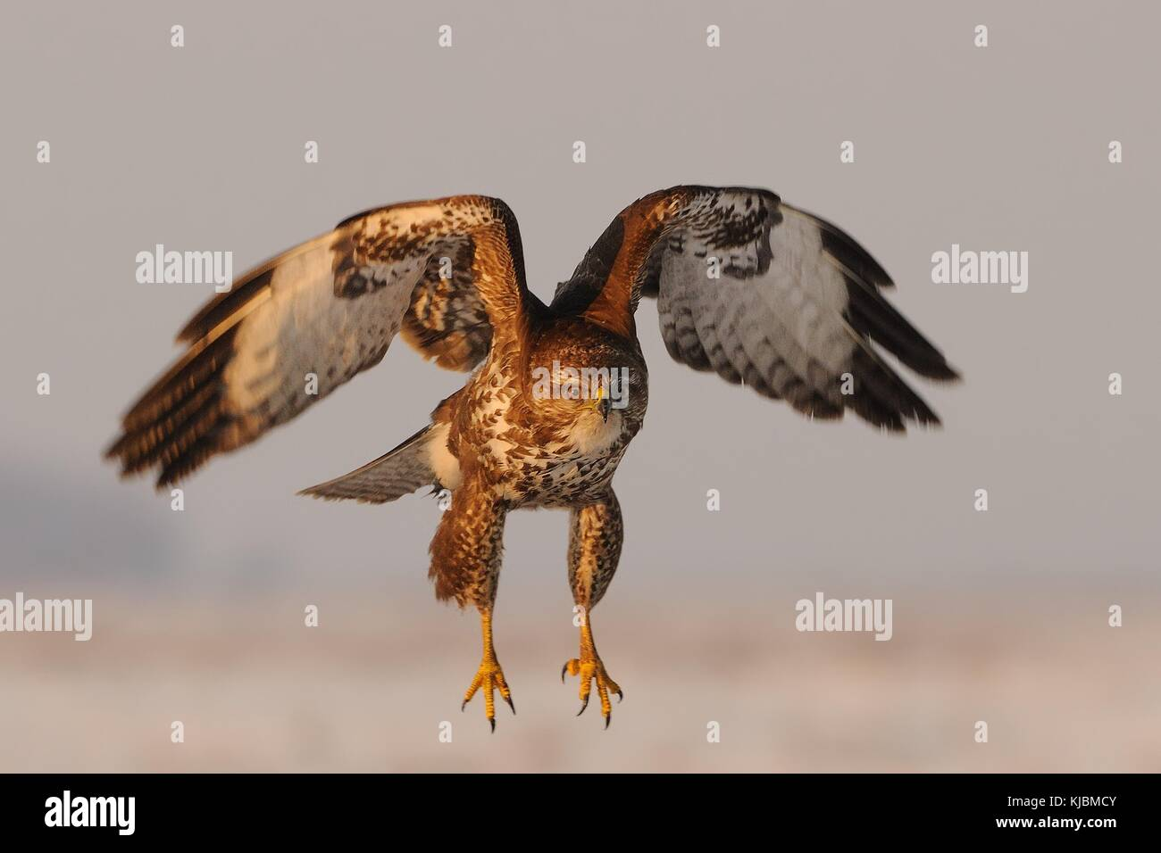 Common Buzzard - Buteo buteo flying over the snow-covered lanscape. - Stock Image