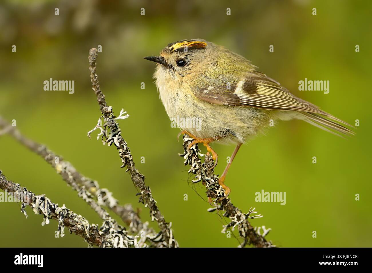 Goldcrest - Regulus regulus sitting on the branch of the spruce - Stock Image