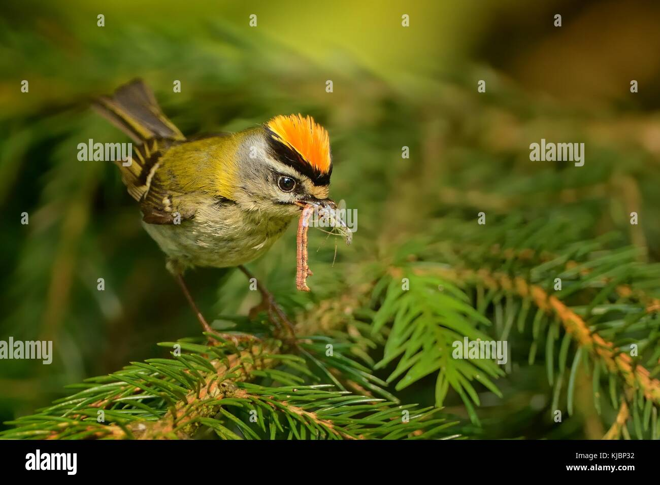 Firecrest - Regulus ignicapilla with the orange crest and his pray in the forest - Stock Image