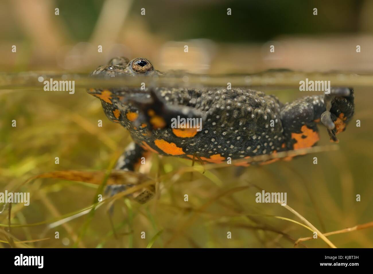 Fire-bellied Toad under water in the lagoon. - Stock Image