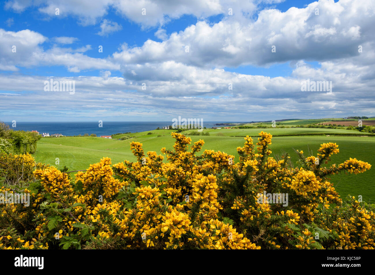 Scenic view of countryside with common gorse in spring at St Abbs in Scotland - Stock Image