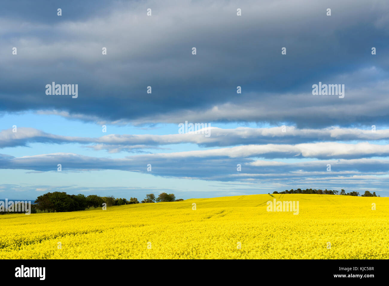 Scenic countryside with bright yellow canola field and dark clouds in sky at St Abbs in Scotland - Stock Image