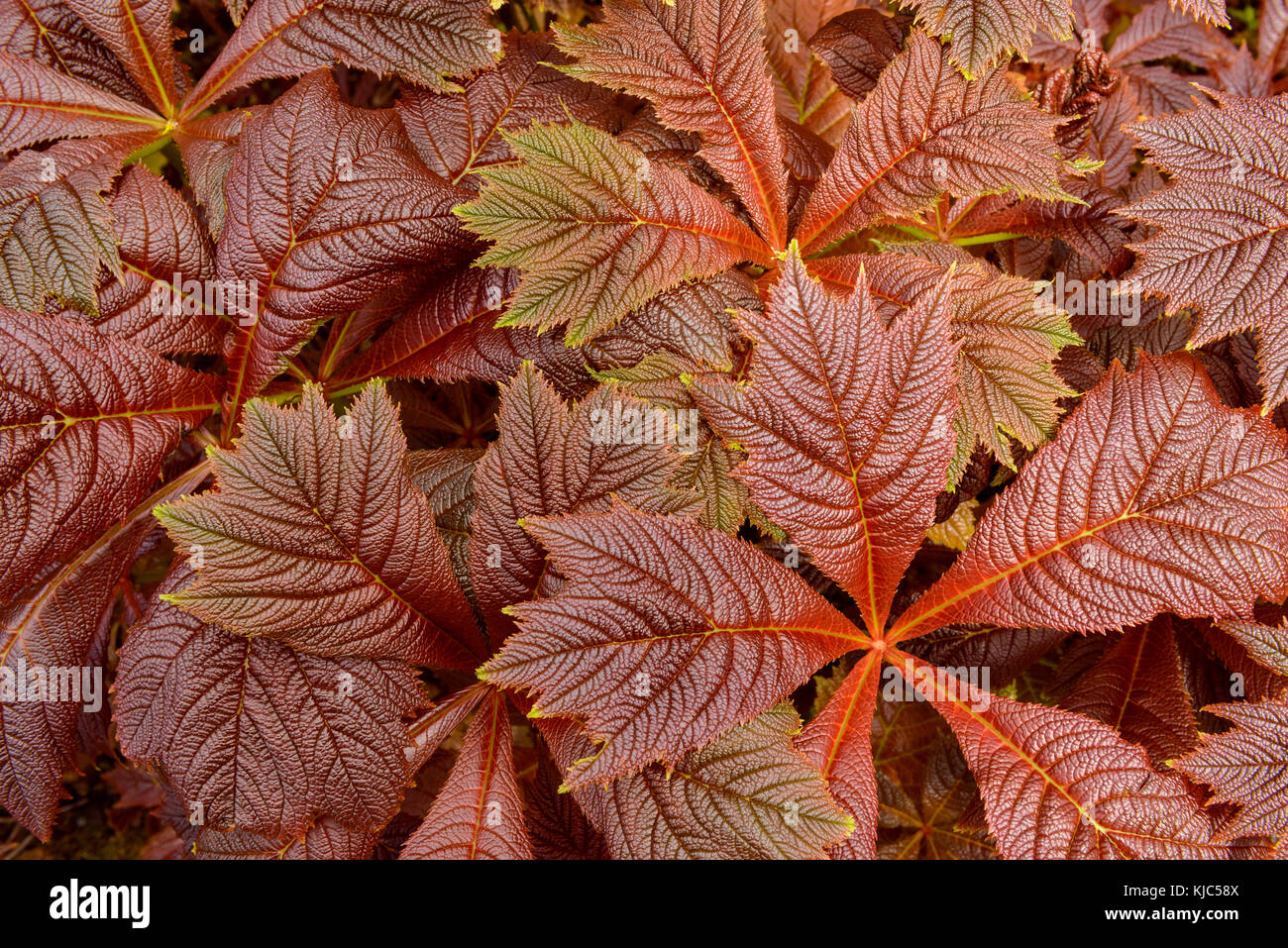 Close-up of Giant saxifragaceae (Rodgersia podophylla) plant in Dunvegan on the Isle of Skye, Scotland - Stock Image
