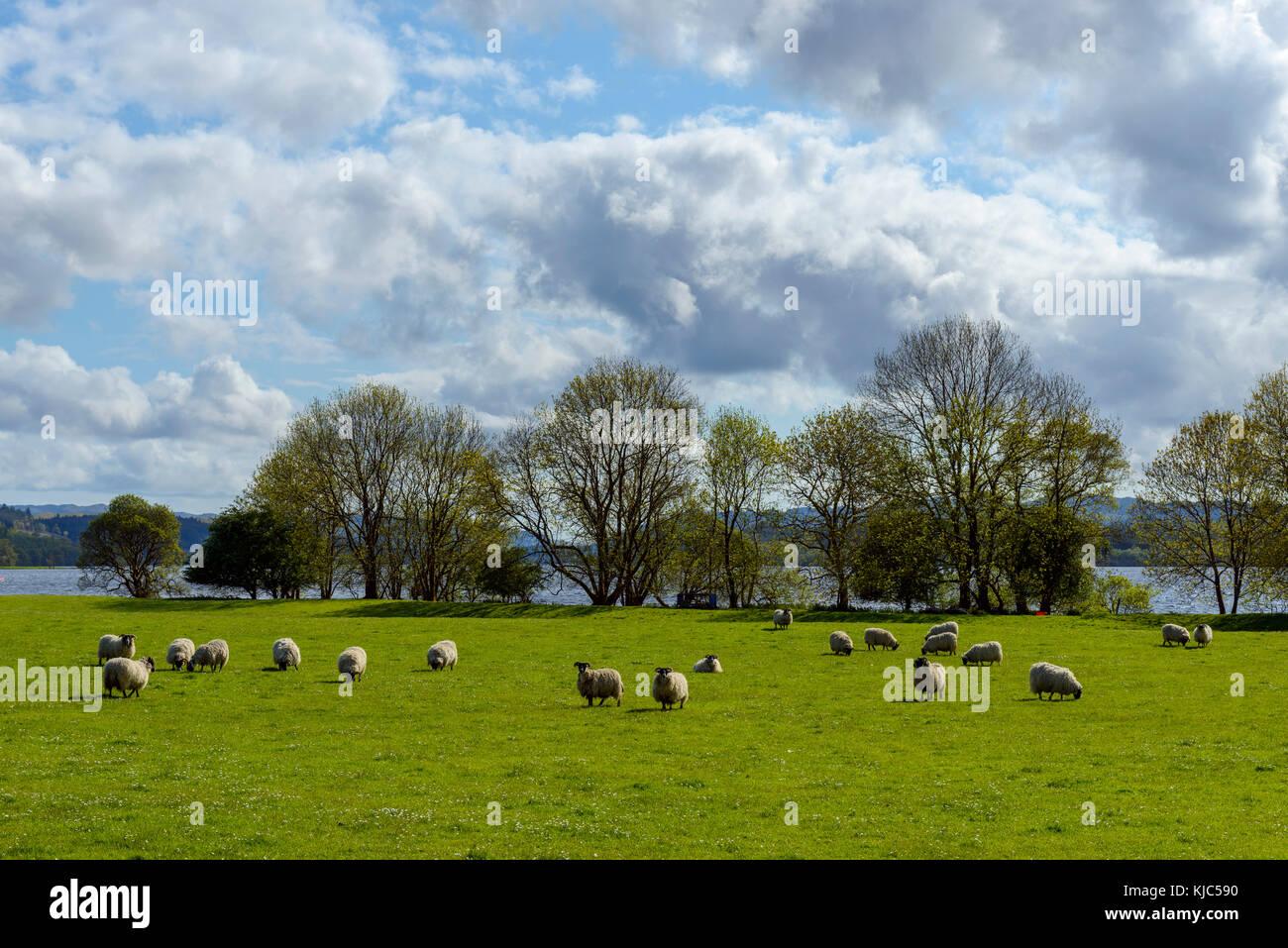Blackface Sheep herd grazing in meadow beside Loch Awe in Scotland - Stock Image