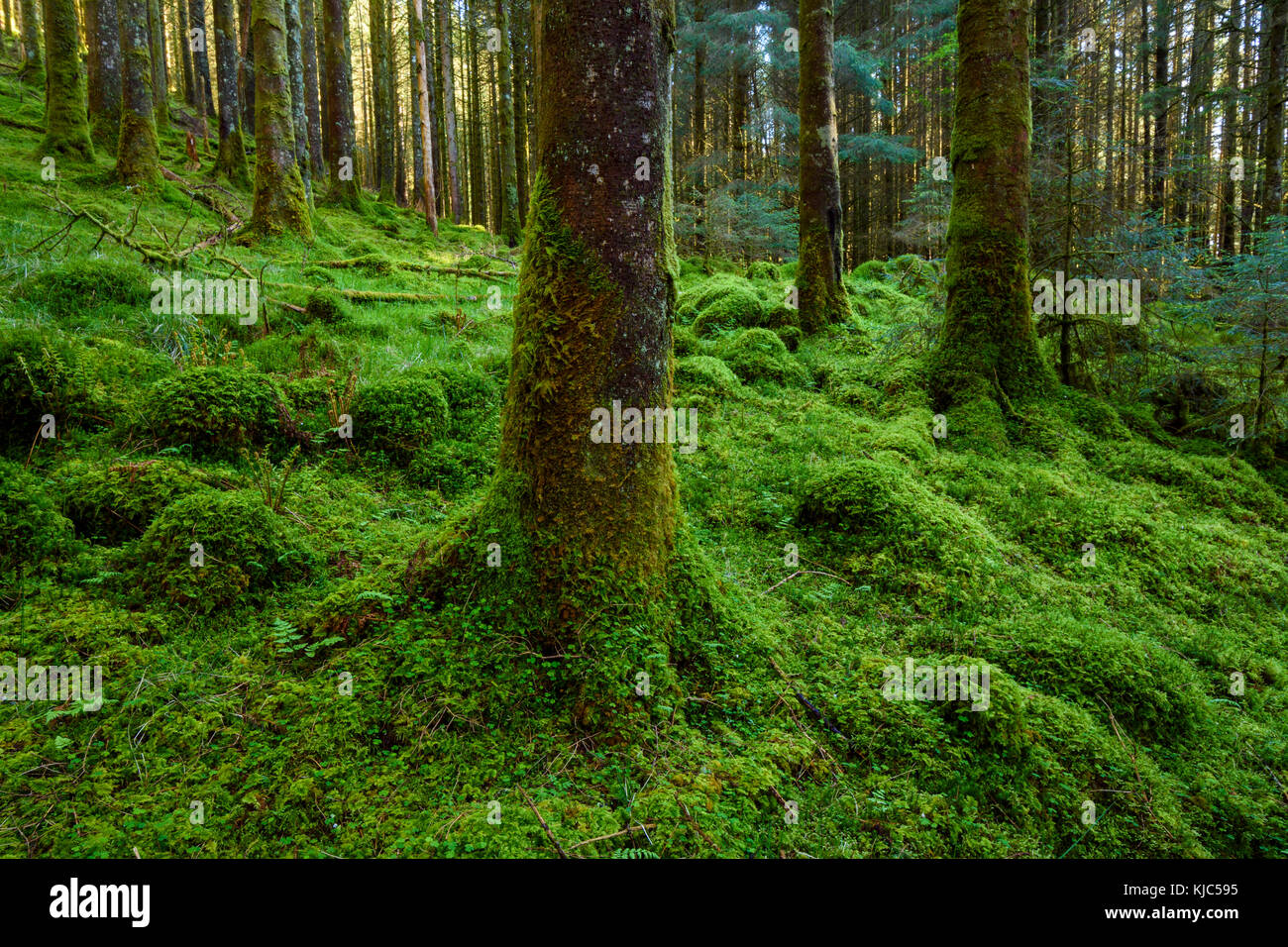Strong mossy tree trunks and forest floor in a conifer forest at Loch Awe in Argyll and Bute in Scotland - Stock Image