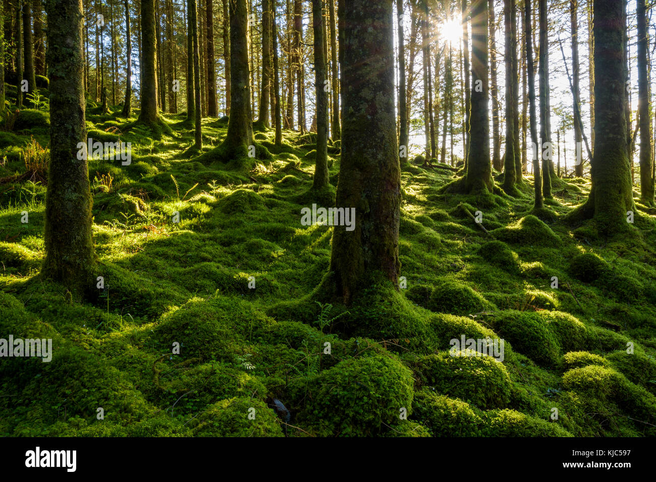 Moss covered ground and tree trunks in a conifer forest with the sun shining through at Loch Awe in Argyll and Bute - Stock Image