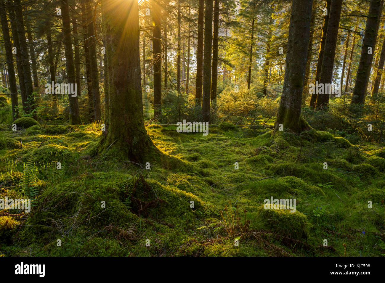 Moss covered ground and tree trunks in a conifer forest at sunset at Loch Awe in Argyll and Bute, Scotland - Stock Image