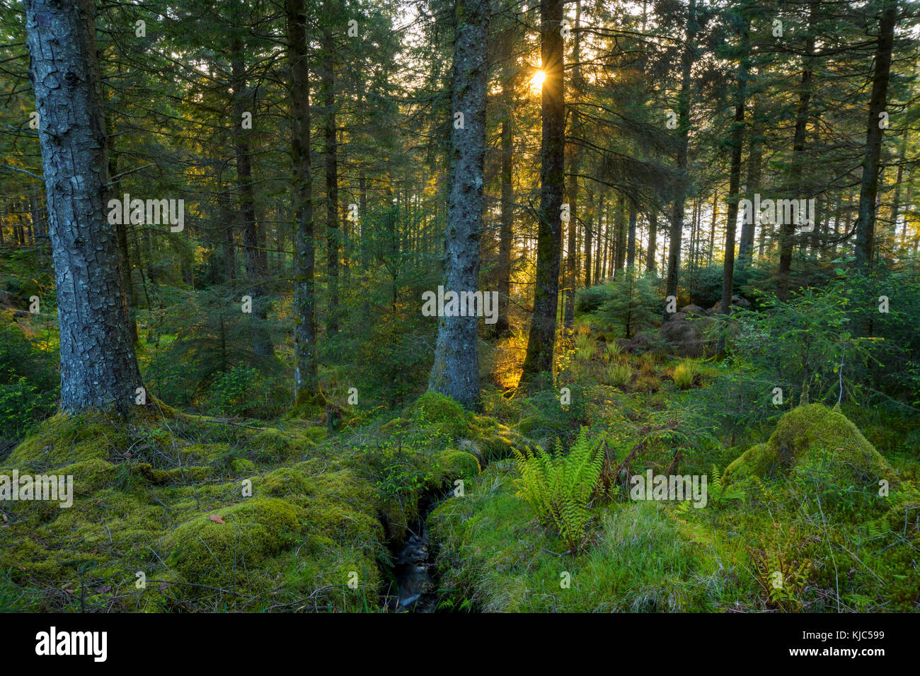 Sun shining through mossy conifer forest at sunset at Loch Awe in Argyll and Bute, Scotland - Stock Image