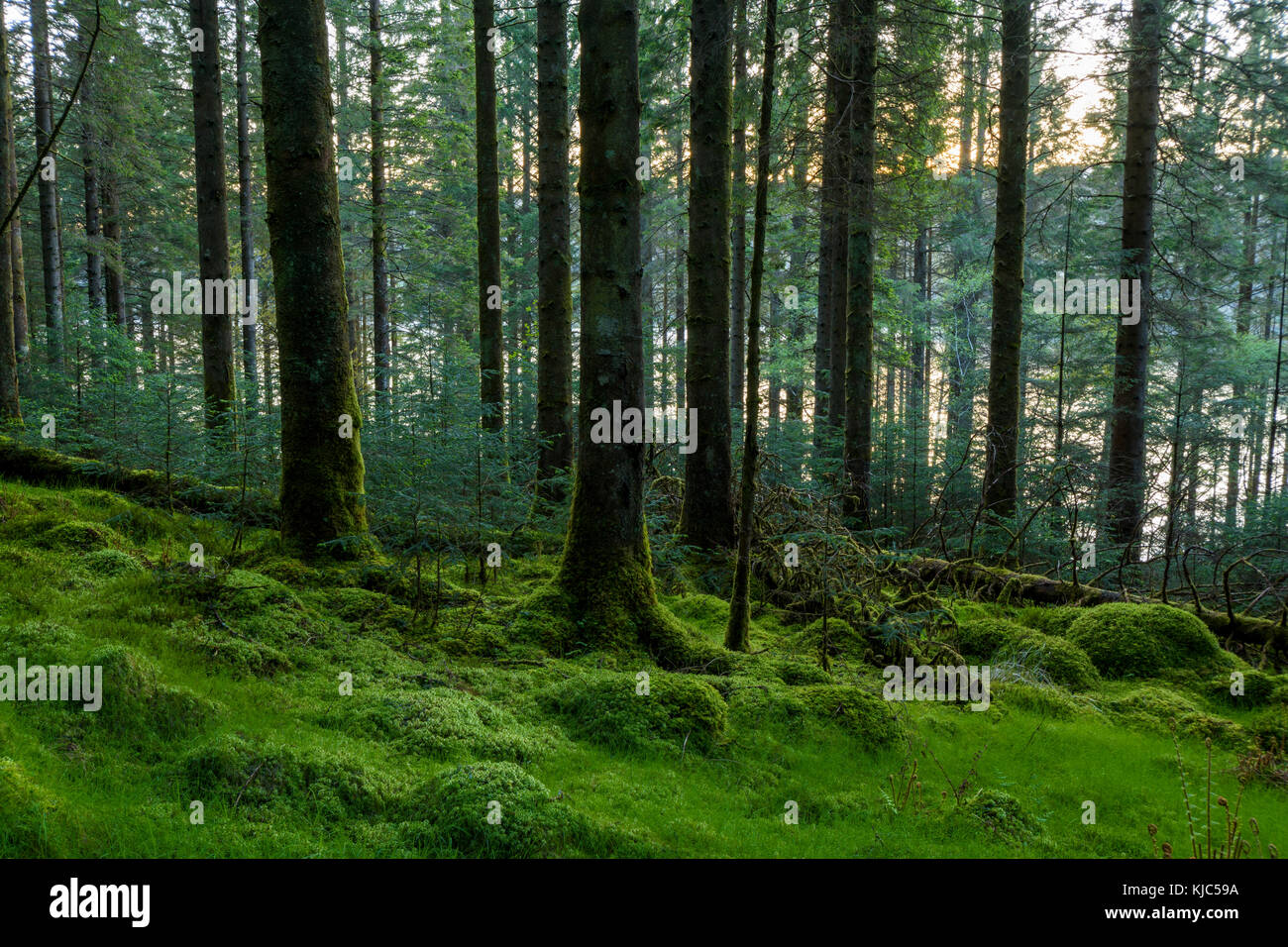 Conifer forest at dusk at Loch Awe in Argyll and Bute, Scotland - Stock Image