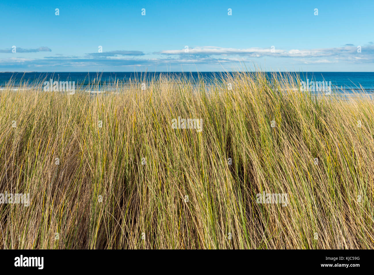Close-up of dune grass along the shores of the village of Seahouses at the North Sea in Northumberland, England, - Stock Image