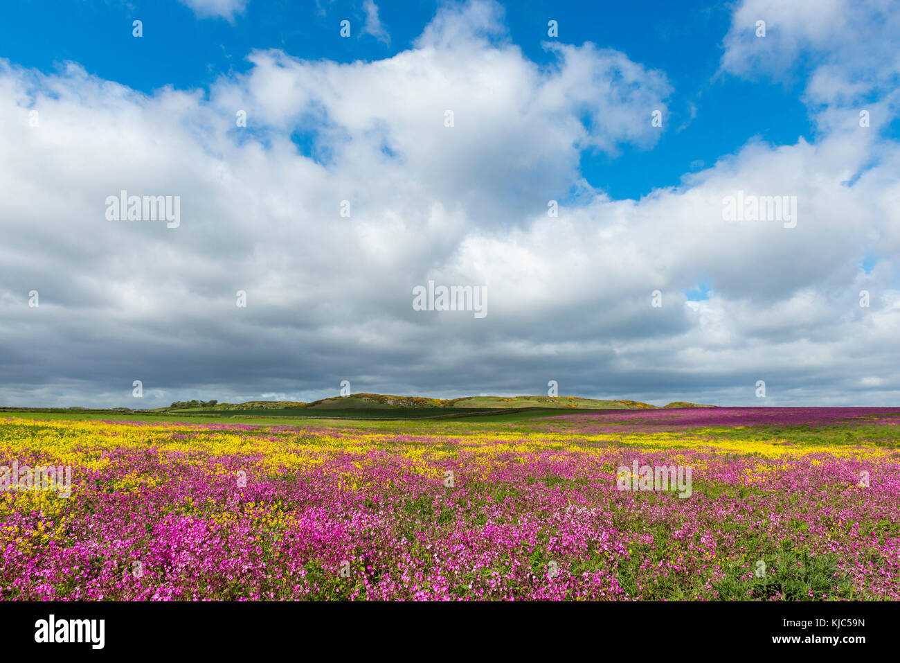 Field of blooming pink flowers and canola with dramatic clouds in sky at Bamburgh in Northumberland, England, United - Stock Image