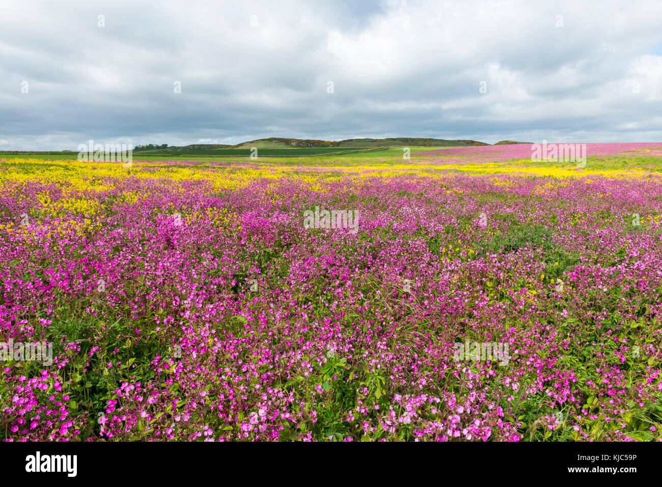 Scenic of field with blooming pink flowers and canola on a cloudy day in Bamburgh in Northumberland, England, United - Stock Image