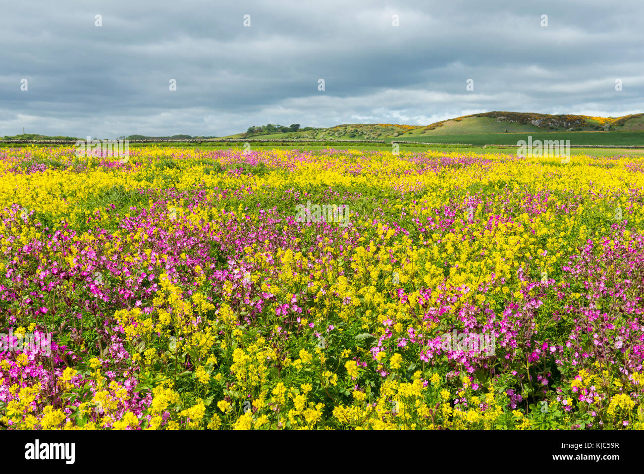 Scenic of blooming canola field and pink flowers on a cloudy day at Bamburgh in Northumberland, England, United - Stock Image