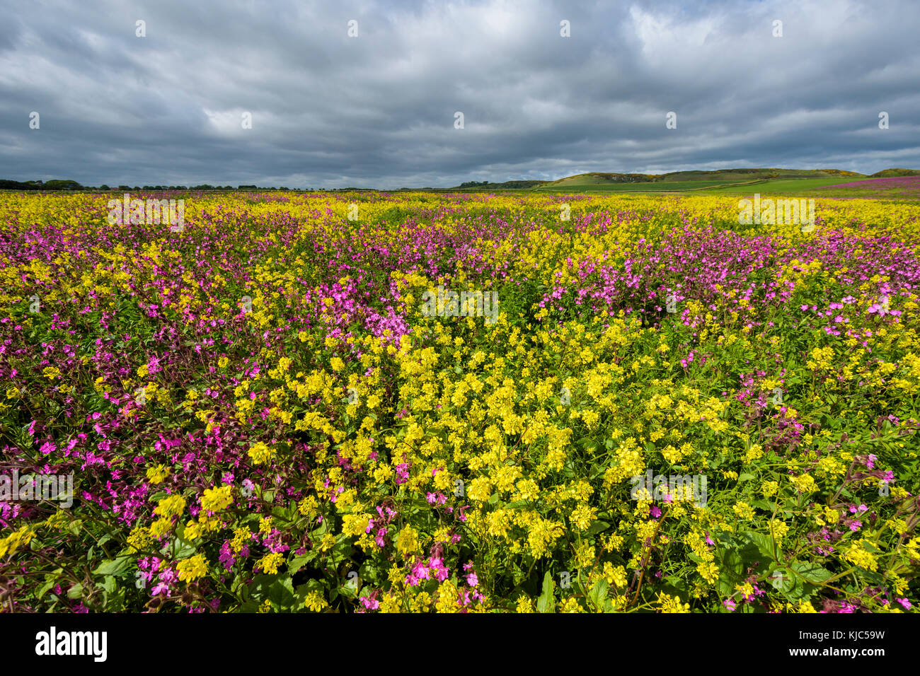 Blooming canola field with pink flowering plant on a cloudy day at Bamburgh in Northumberland, England, United Kingdom - Stock Image