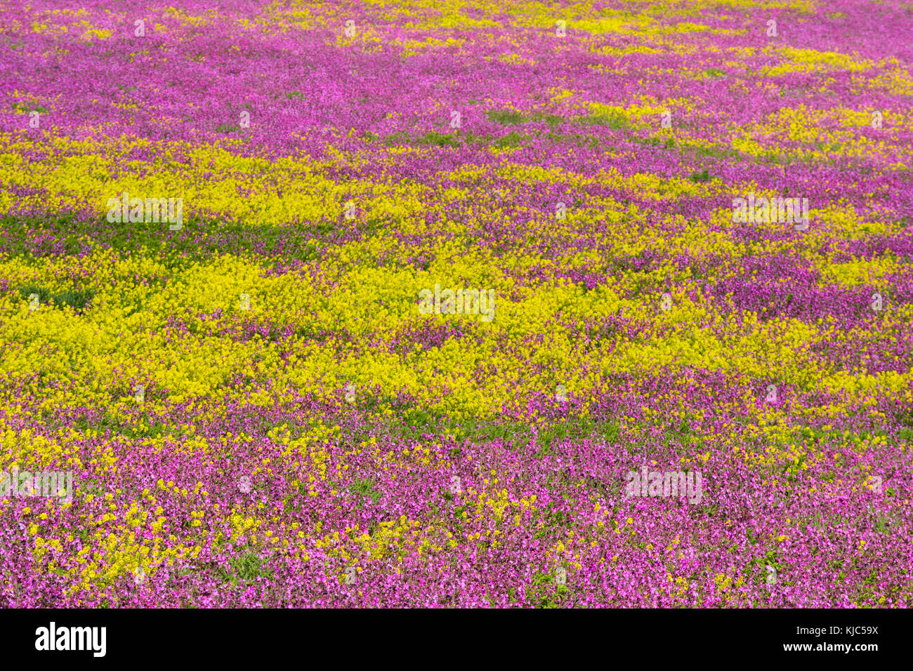 Close-up of blooming canola field with pink flowering plant at Bamburgh in Northumberland, England, United Kingdom - Stock Image