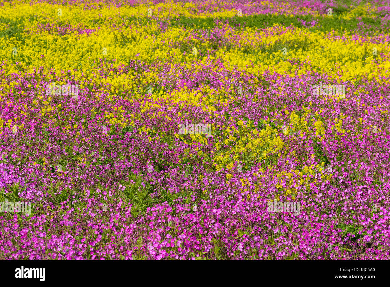 Close-up of field with pink flowers and blooming canola at Bamburgh in Northumberland, England, United Kingdom - Stock Image