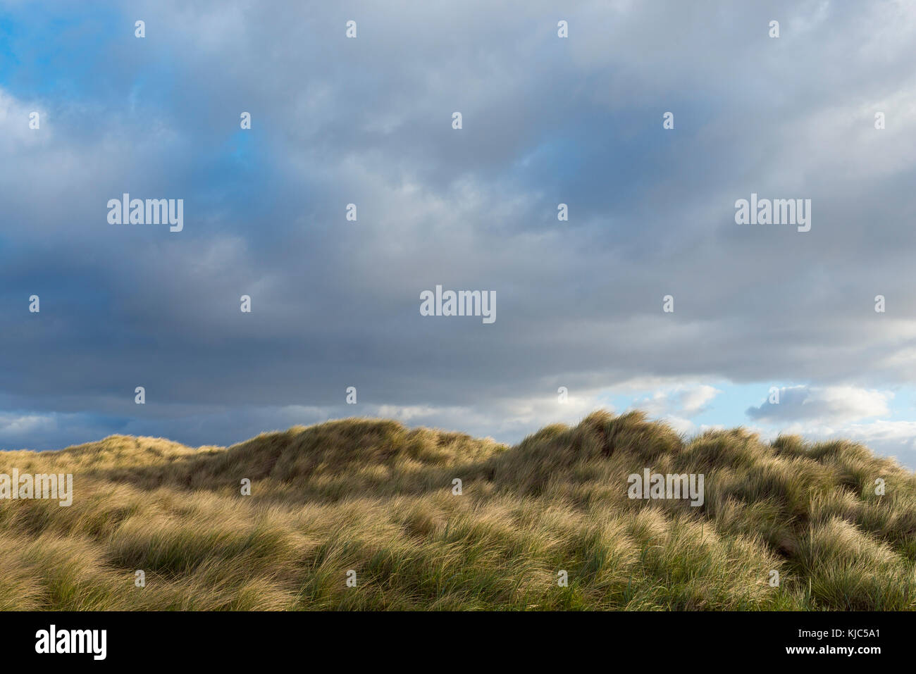Dune grass blowing in the wind at the beach on a cloudy day in Bamburgh in Northumberland, England, United Kingdom - Stock Image