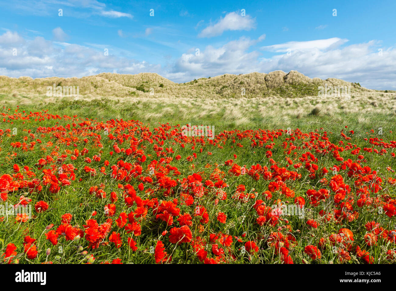 Field of red poppies with grassy sand dunes in the background at the beach in Bamburgh, Northumberland, England, - Stock Image