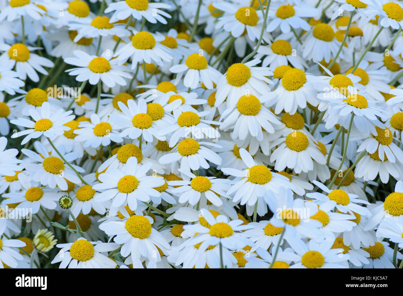 Close-up of Chamomile field in spring at Bamburgh in Northumberland, England, United Kingdom - Stock Image
