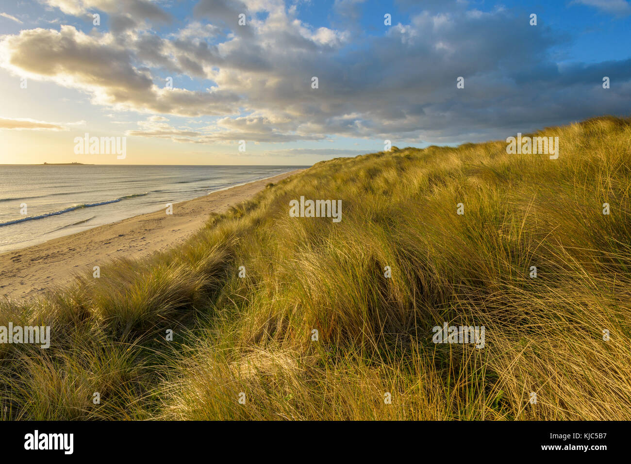 Dune grass on sand dunes on the beach at sunrise along the North Sea at Bamburgh in Northumberland, England, United - Stock Image