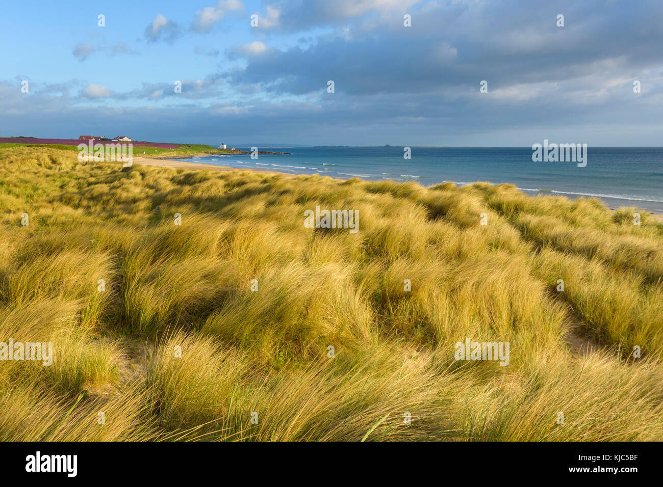 Dune grass along the beach at Bamburgh with the North Sea in Northumberland, England, United Kingdom - Stock Image