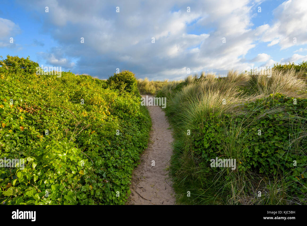 Pathway lined with ivy plants next to the sand dunes at Bamburgh in Northumberland, England, United Kingdom - Stock Image