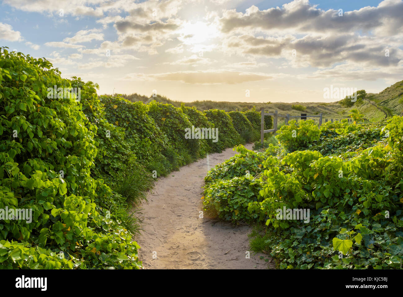 Sunny morning with a pathway lined with ivy plants next to the sand dunes at Bamburgh in Northumberland, England, - Stock Image