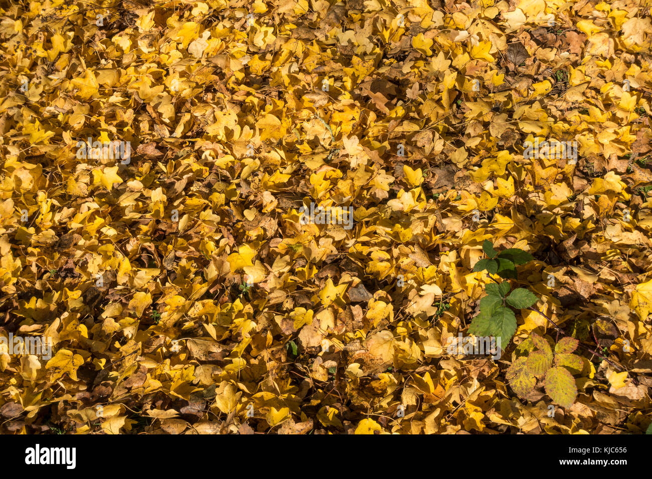 yellow-leaf-carpet-in-autumn-with-touch-