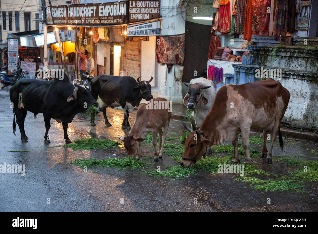 Cows eat on a street in Udaipur, India. - Stock Image