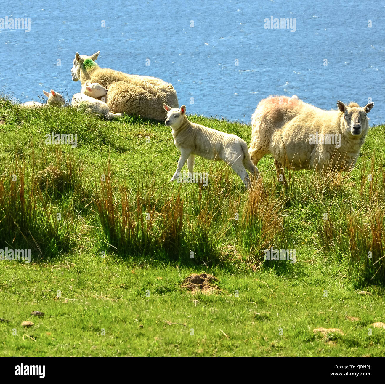 Sheep With Very Little Wool Stock Photos Amp Sheep With Very