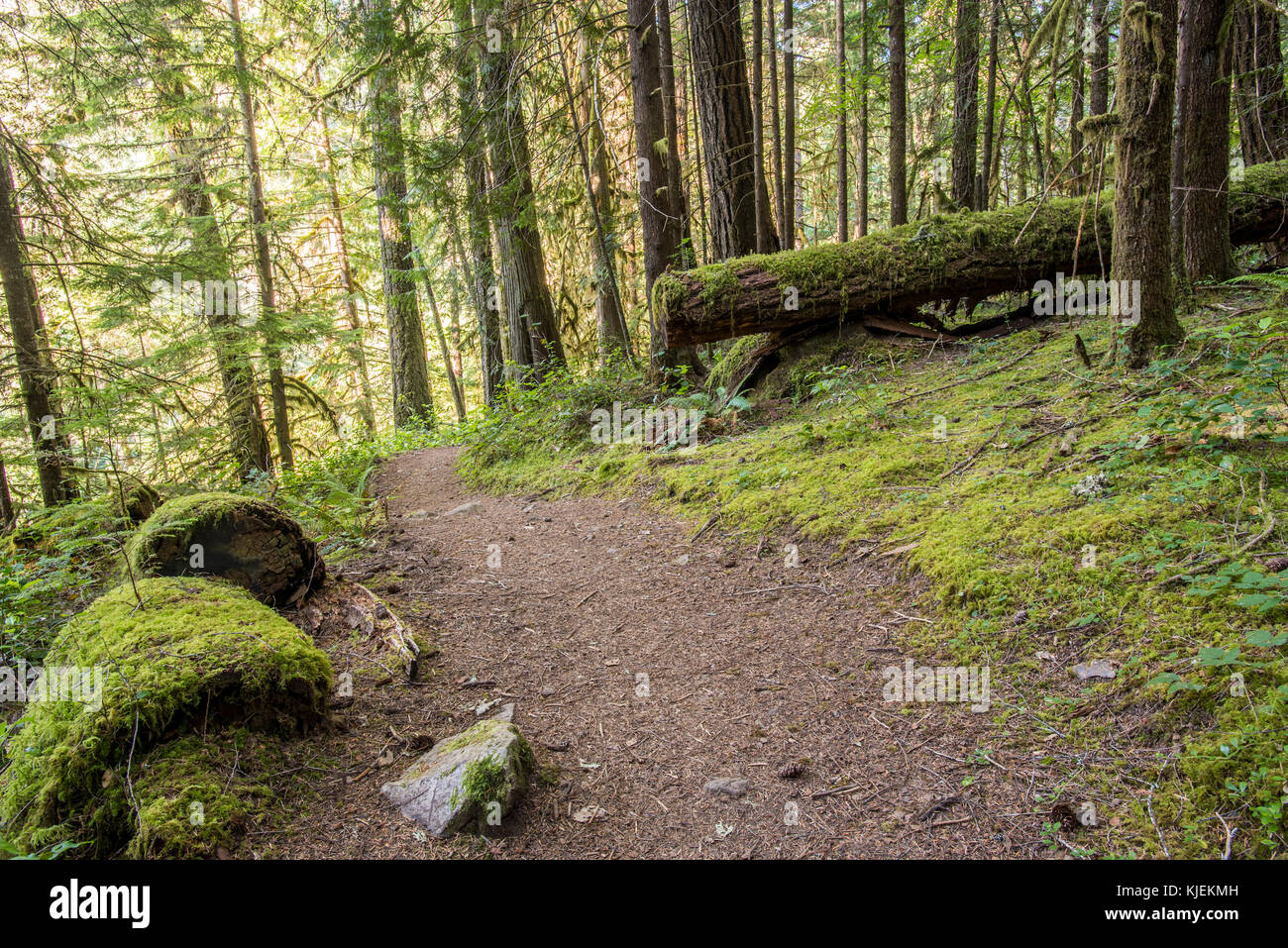 Trail Winds Through Thick Oregon Forest covered in moss - Stock Image