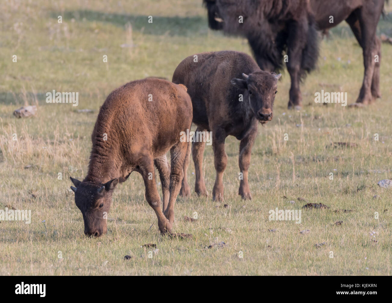 Two Bison Calves Graze in Grassy Meadow - Stock Image