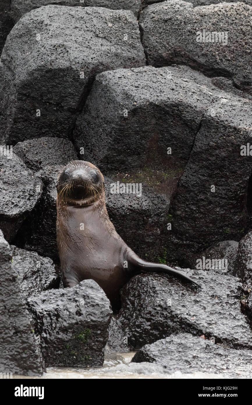 young-galapagos-sea-lion-pup-zalophus-wo