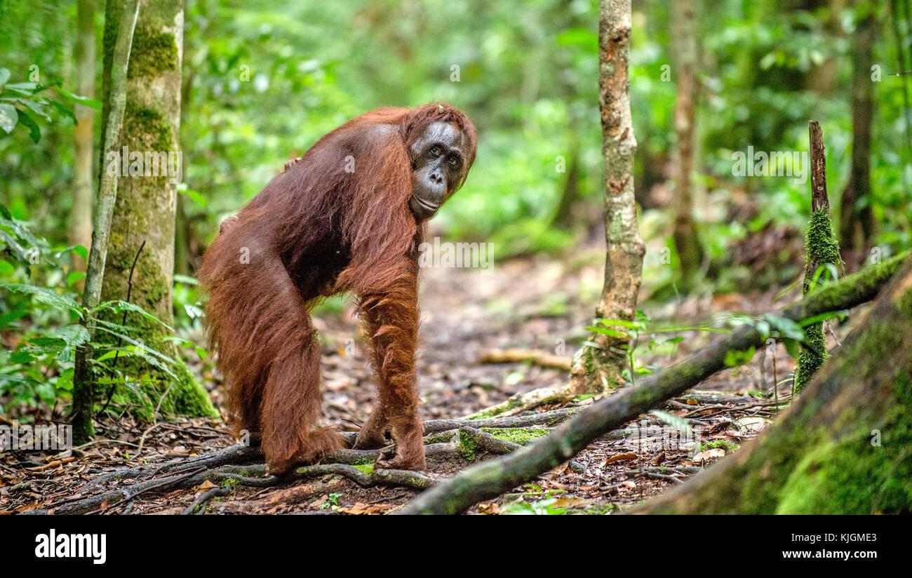 the nature of orangutan or pongo pygmaeus Borneo nature foundation about orangutan publications members of our population status of the bornean orangutan pongo pygmaeus in a vanishing forest in.