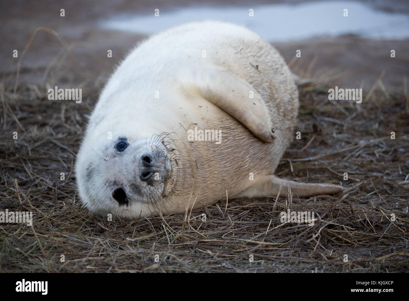 Donna Nook Nature Reserve, Lincolnshire, UK. 23rd November, 2017. Atlantic Grey Seals come ashore for the annual - Stock Image