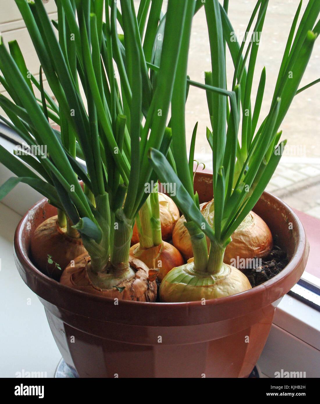 Indoor gardening stock photos indoor gardening stock for Indoor gardening onions