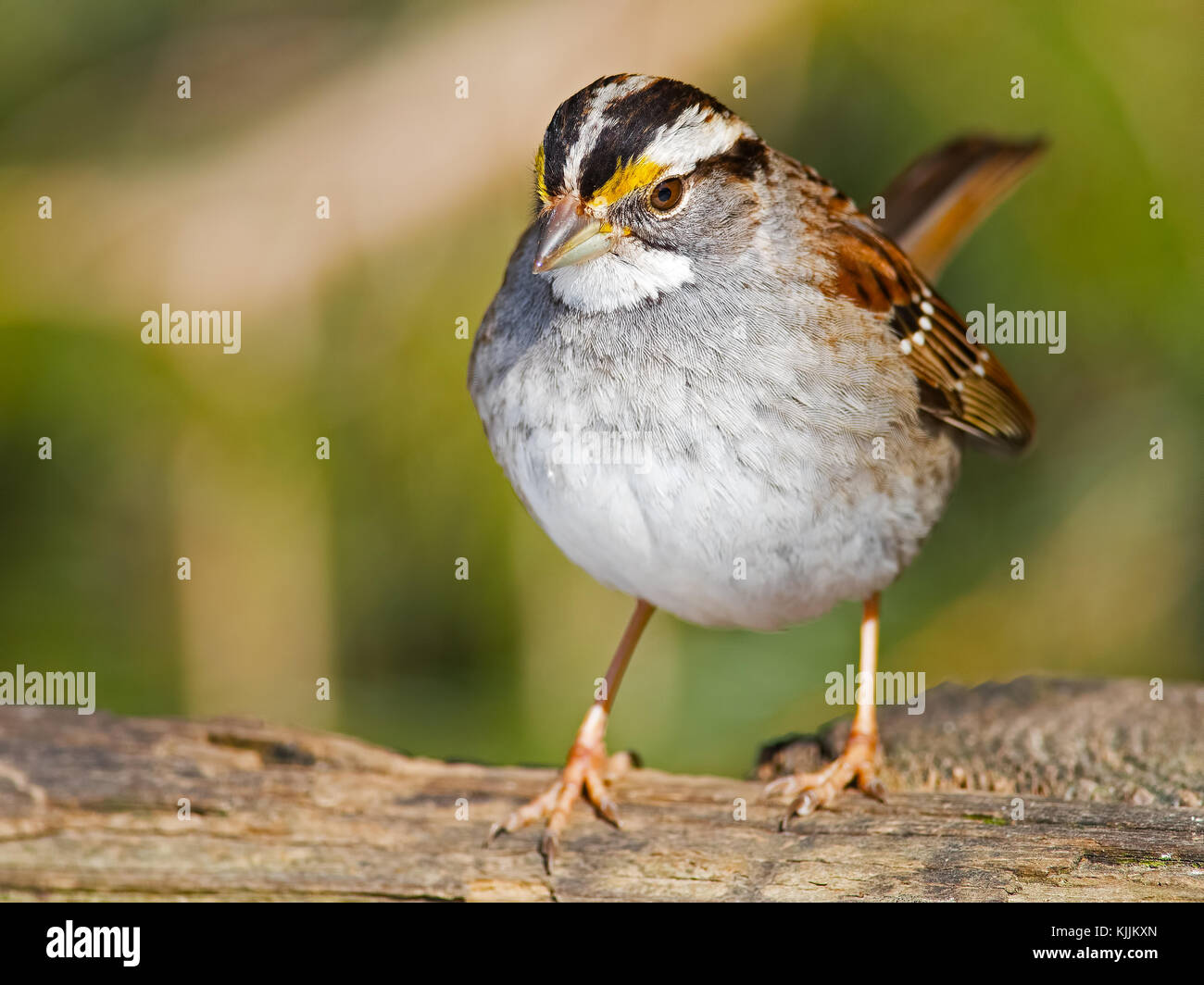 White-throated Sparrow - Stock Image