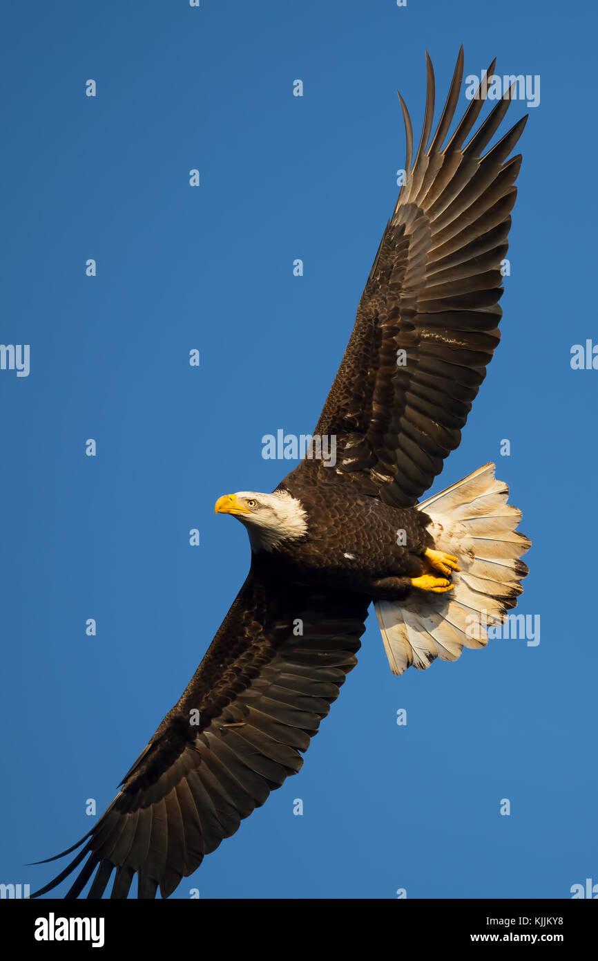 Bald Eagle in Flight - Stock Image