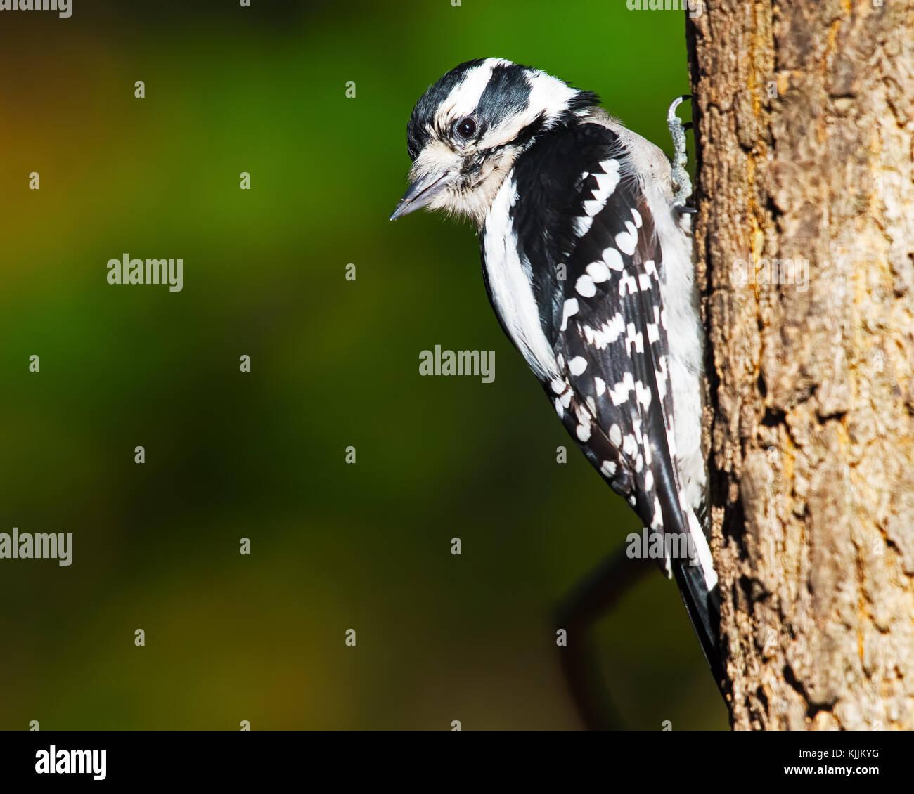 Downy Woodpecker Scaling Tree - Stock Image