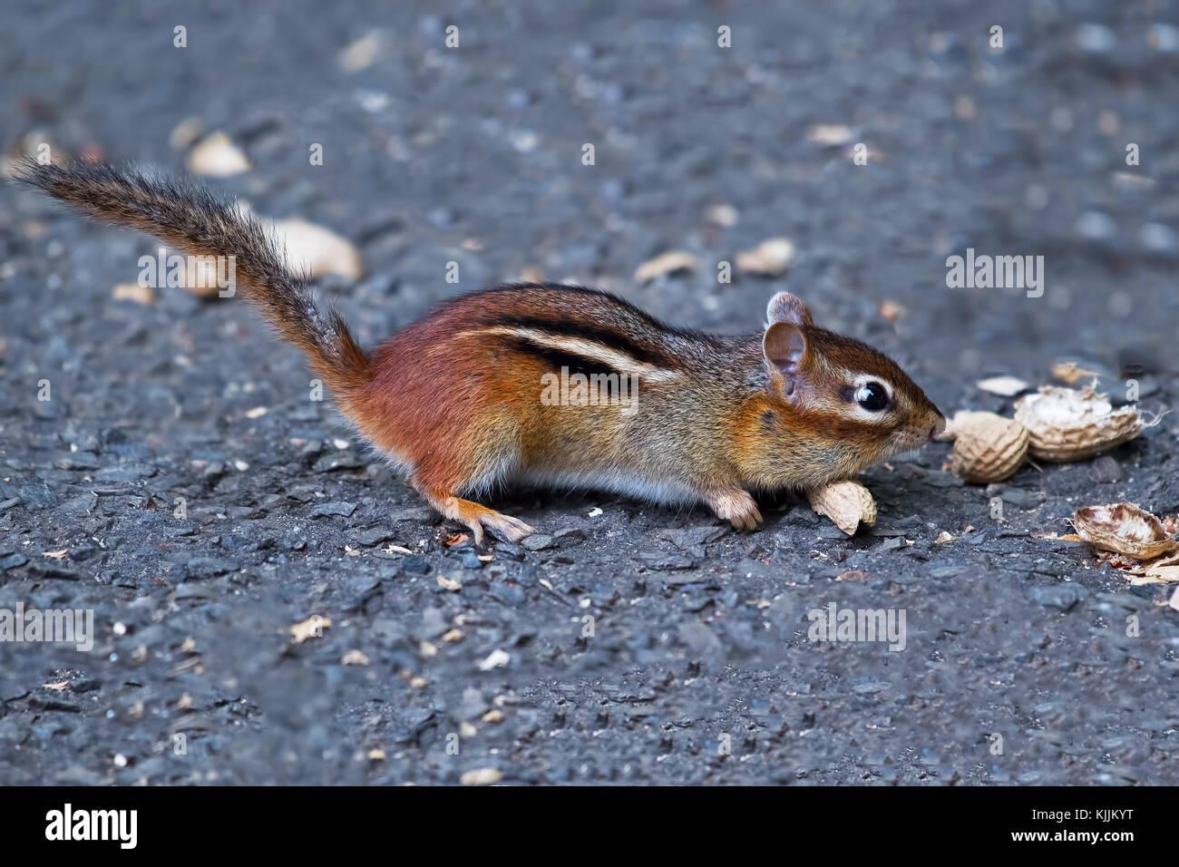 Chipmunk Eating Peanuts - Stock Image