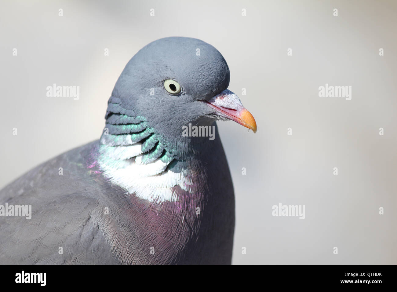 pigeon plague our cities