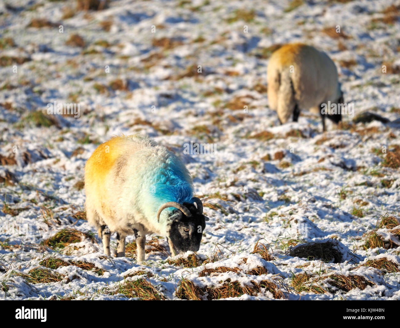 Cumbria, UK. 25th November, 2017. sheep standing in snowy field as winter starts early in Cumbria Credit: Steve - Stock Image