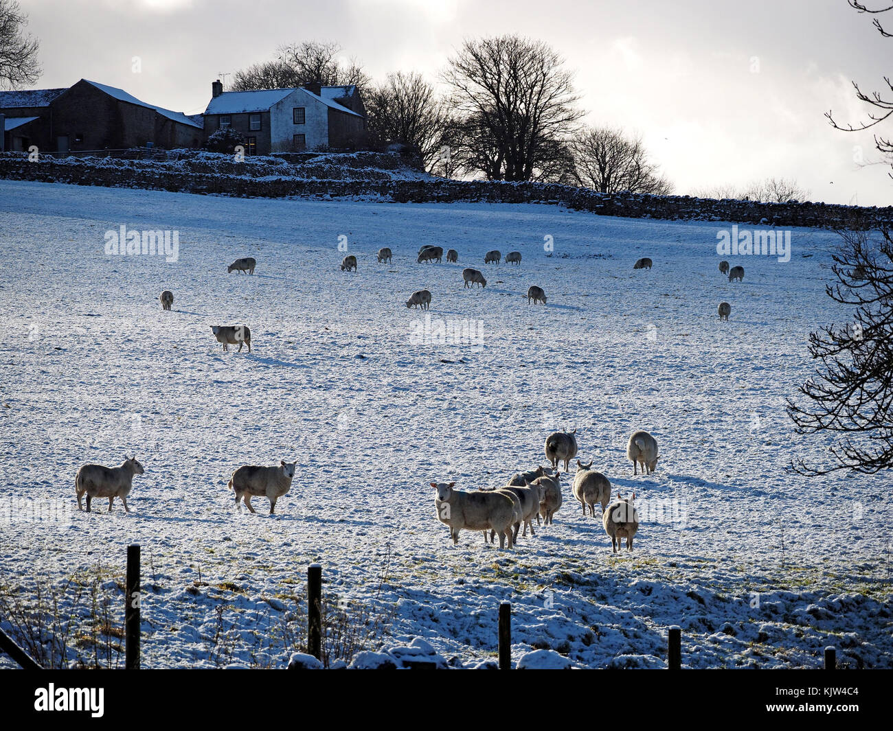 Cumbria, UK. 25th November, 2017. sheep standing in snowy field with farmhouse and barns in background as winter - Stock Image