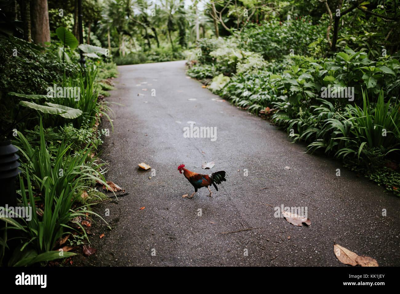 Bird crossing path in botanical garden, Singapore. - Stock Image
