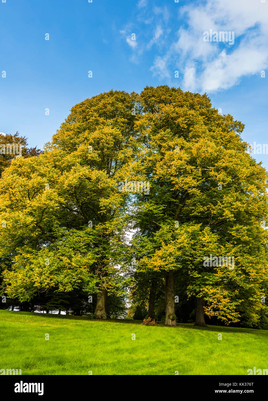 Two oak trees at Waddesdon Manor, Buckinghamshire, UK - Stock Image