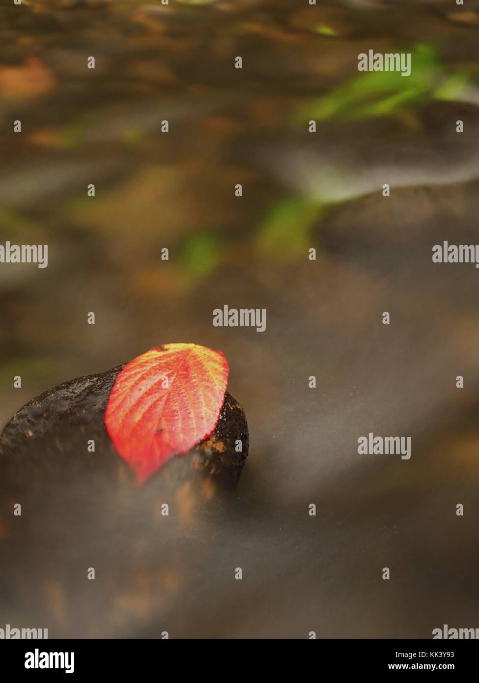 Thorny raspberry leaf caught on wet stone. A leaves trapped in the middle of a mountain stream. - Stock Image